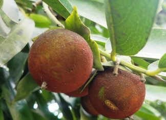 "The Black Sapote ""Diospyros nigra"" is a species of persimmon in the family Ebenaceae. It is also called ""chocolate pudding fruit"""
