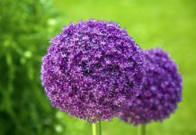 """Allium giganteum """"giant garlic"""" i summer sends up long stalks of 4 feet tall topped with 5 inch balls round, made up of tiny purple flowers."""