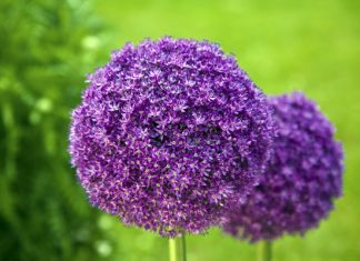 "Allium giganteum ""giant garlic"" i summer sends up long stalks of 4 feet tall topped with 5 inch balls round, made up of tiny purple flowers."