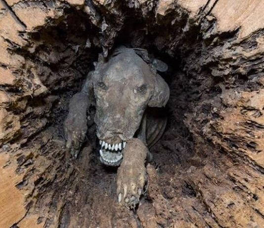 the kind of tree that the Dog had lodged itself in was exclusively qualified to lend itself to the natural mummification process.