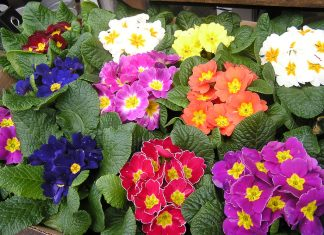 The most characteristic primrose color is yellow, but they're are many other colors available.