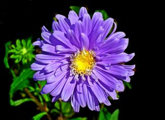 Aster Flower Information in height from six tall to just above the ground. Colors are shades of purple, lavender, pink, red, blue and white.