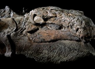 The Royal Tyrrell Museum of Palaeontology in Alberta, unveiled Nodosaur Dinosaur Mummy with skin and gust intact you can't even see its bones.