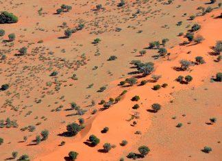 Camel thorn scattered on dunes in the Kalahari Desert