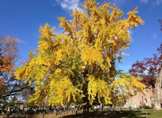 Ginkgo biloba during autumn at the Ewing Presbyterian Church Cemetery in Ewing, New Jersey