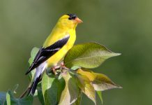The American Goldfinch is about five inches in length tail tip to bill tip.