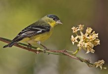 Lesser Goldfinch (Male), Carol's Garden, Palm Canyon Resort, Borrego Springs, California