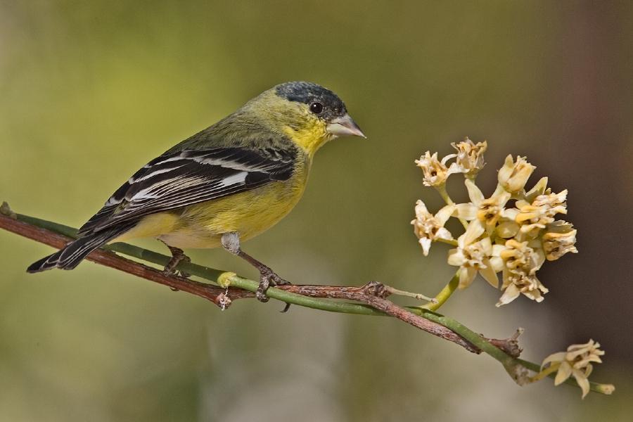 Lesser Goldfinch (Male), Carol's Garden, Palm Canyon Resort, Borrego Springs, California