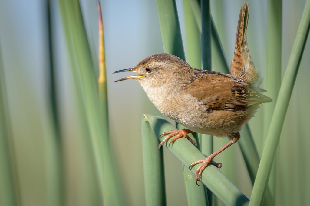 Marsh wrens breed throughout most of the northern half of the United States and in coastal areas as far south as Florida. In winter they are in the southern United States and into Mexico, particularly in coastal areas.