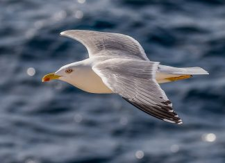 Nesting colonies of herring gulls along the northeastern coast of the United States are found primarily on sandy or rocky offshore or barrier beach islands.
