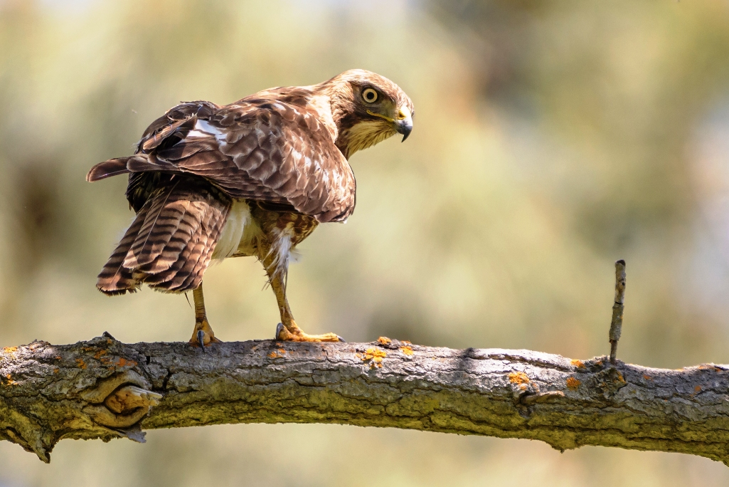 They range in size from the broad-winged hawk (41 cm bill tip to tail tip) to the ferruginous hawk (58 cm).