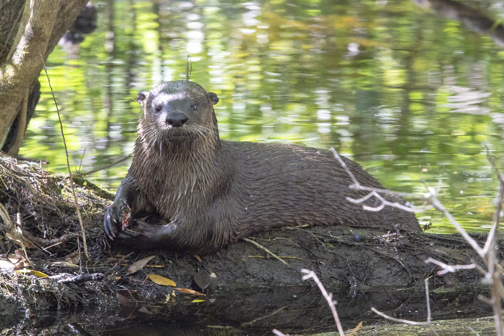 The northern river otter (Lutra canadensis) historically lived in or near lakes, marshes, streams, and seashores throughout much of the North American continent.