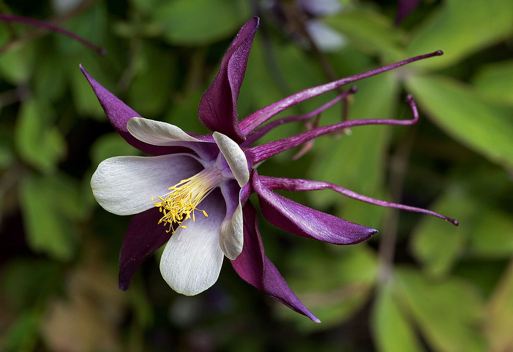 The Aquilegia Flowers and leaves of columbines have a dainty, airy quality. Several of flowers have long spurs, and they come in every color
