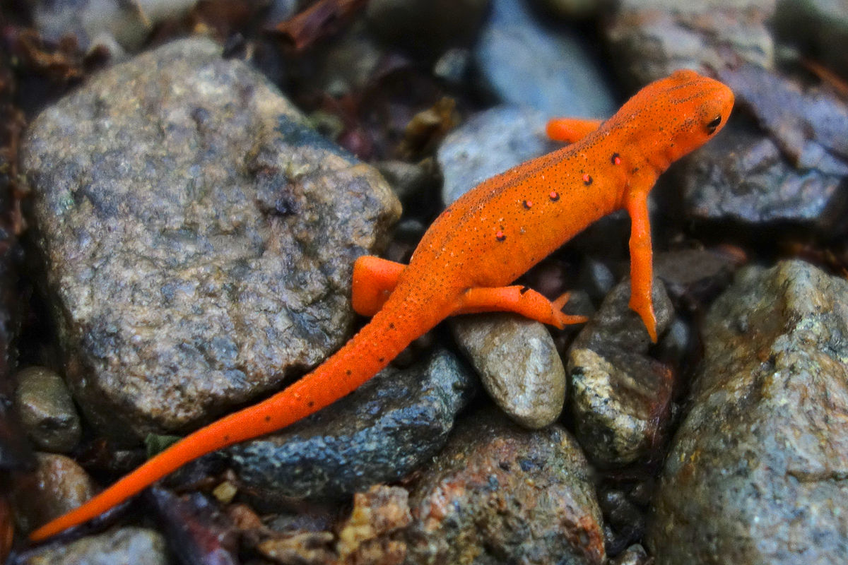 Eastern Newt has both aquatic and terrestrial forms. The aquatic adult is yellowish-brown or olive-green to dark brown above yellow below.