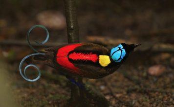 The Gorgeous Wilson Bird of Paradise