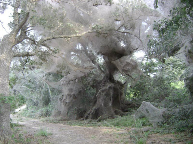 their's a species of spider that grows and habitually live in colonies and formed spiders webs that can reach amazingly 25 feet in height.
