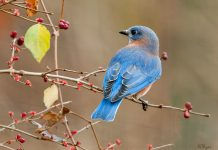The eastern bluebird (Sialia sialis)