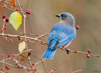 The eastern bluebird (Sialia sialis)