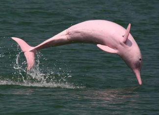 The abundance of the Amazon river dolphin (Inia geoffrensis, also known as the boto, bufeo or pink river dolphin), and the tucuxi (Sotalia fluviatilis) along ca.