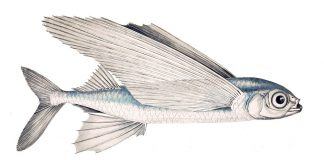 Flying Fish - How to Fly