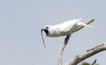 Scientists have the opinion the male white bellbird (Procnias albus) has the loudest call of any bird species recorded to date.