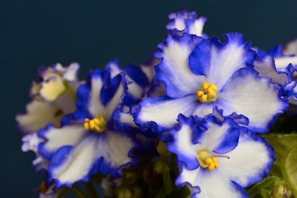 The African violet can be 10 to 15 cm high and up to 38 cm or more across.
