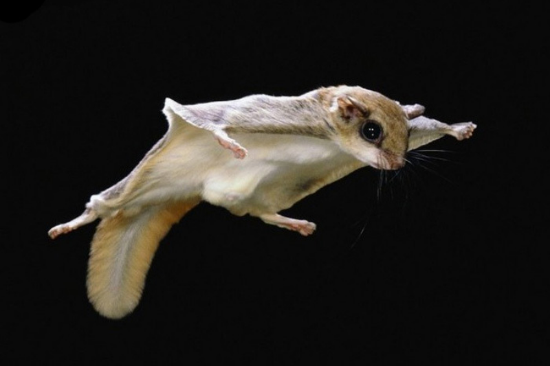The Northern Flying Squirrel is nocturnal and has large eyes that are extremely resourceful in the darkest nights.