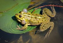 The bullfrog's (Rana catesbeiana) natural range includes the eastern and central United States and southeastern Canada.