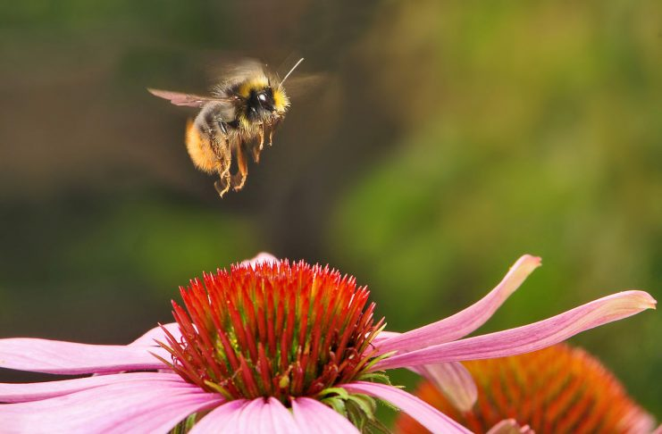 Bumblebees (bumble-bee, or humble-bee) and a few other insects are warm-blooded animals. They can be powerhouses producing energy by rapidly flexing their flight muscles.