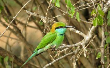 The Bee-eater is characterized by having the median pair of tail feathers prolonged a couple of inches beyond the others as bristles.