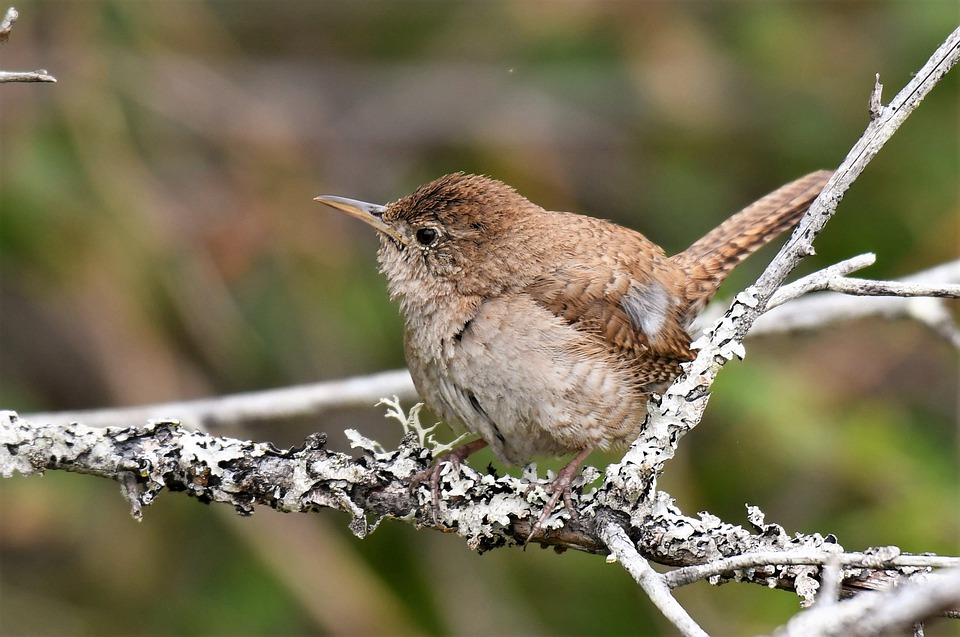 The industry and diligence of the House Wren Nesting Behavior when nest building is well known, built in two stages.