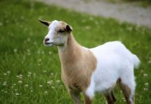 Fainting Goats in Tennessee is famous in local market for meat source, The strictly muscular goats but docile much easier to care and maintain