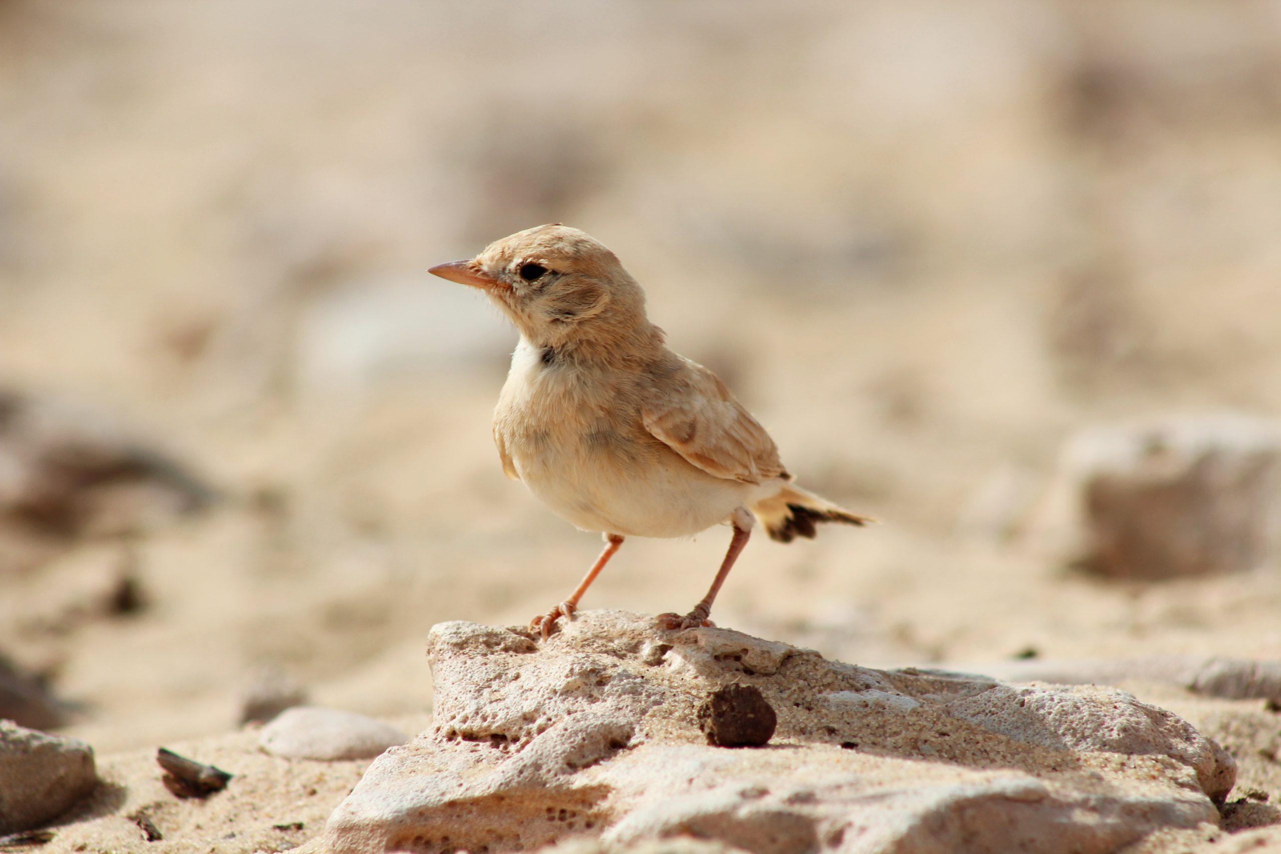 Bar-tailed Desert Lark