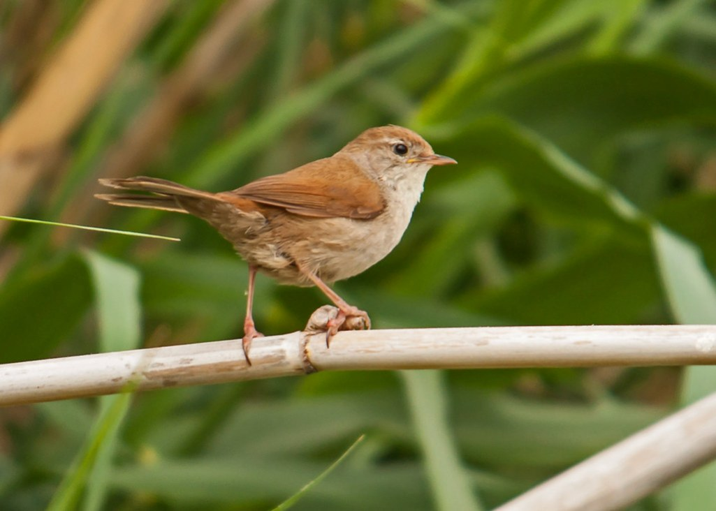 CETTI'S WARBLER is large & skulking warbler of dense waterside undergrowth with broad, rounded tail and often slightly 'untidy' appearance.