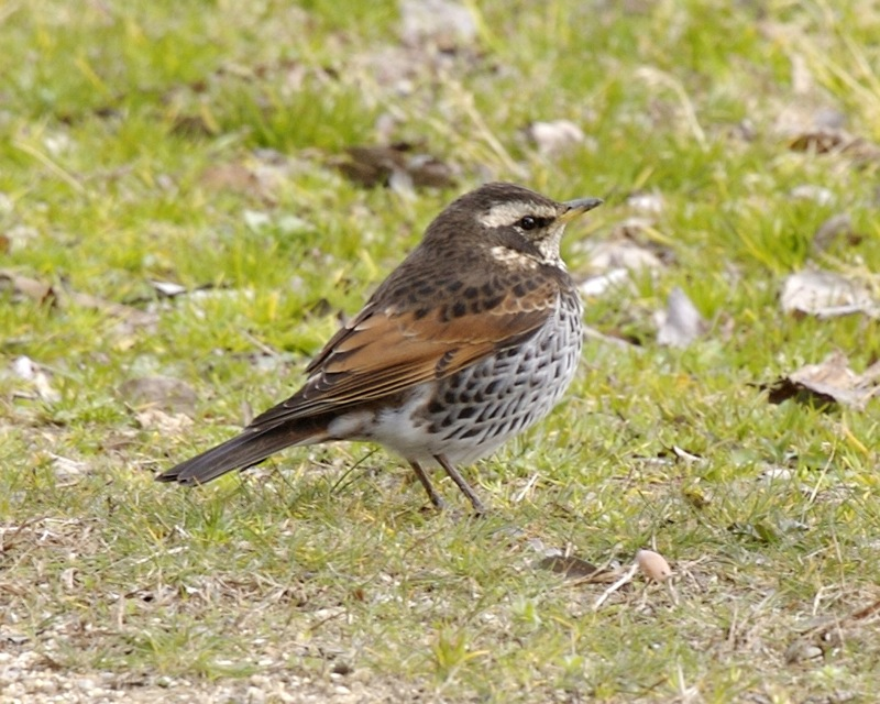 The medium size Dusky Naumann's Thrush adult male bird is dull dark brown above with blackish feather centers, giving the mottled appearance (with wear upperparts appear blacker).