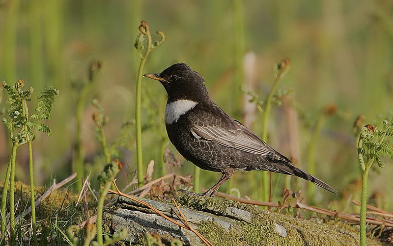 Ring Ouzel resembling with common Blackbird in size, shape and basic coloration with a prominent white breast band and whitish wing feathers