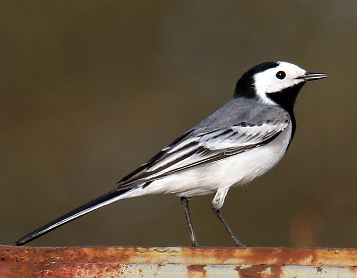 Most familiar White Wagtail with combination of black crown and throat (or breast band) with white sides of head, grey or blackish upperparts