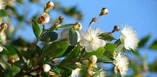 Myrtle is the sacred plant of the Greek goddess Aphrodite and the Roman goddess Venus, and the messenger god Hermes fashioned his magical sandals of myrtle branches.