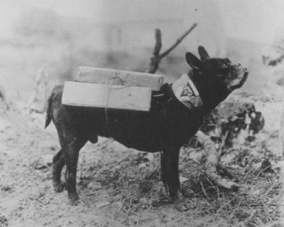 Mutt, a French Bulldog and member of the U.S. 11th Engineers in WW1, he delivered cigarettes throughout the front lines, 1918