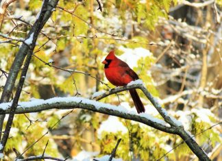 Northern Cardinal Bird Meaning - A bird representative of a loved one who has passed away. Therefore, when you want to see him, it means they are visiting your door very soon.