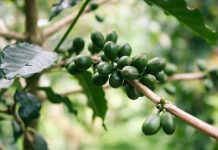 Coffee Tree is an ideal choice for a strong display of foliage makes a dramatic feature in combination with foliage or flowering plants.
