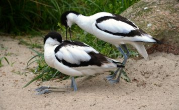 Avocet is a rare British bird, no problem in identification or recognition. Snow-white plumage is strikingly marked on outer third of wings.