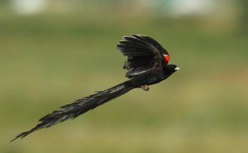 The display flight of a male long-tailed Widowbird, also known as the 'Sakabula', with its arched tail, rowing wing beats, and red epaulets.