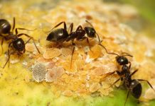 The Ant lift a paving slab or turn over a large stone in the garden, and the chances are that you will find a colony of black garden ants.