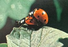 7 -spot ladybirds mating. The male is the one on top externally male and female ladybirds look alike.
