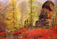 Larch Tree in Wild Nature