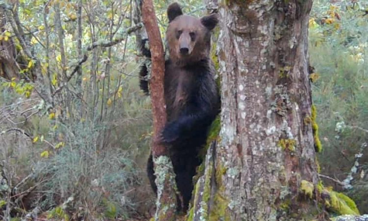 Rare Brown Bear Spotted in Spain's National Park in 150 Years