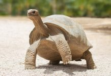 Tortoise is one of the oldest species on our planet. Here are 10 Important Facts about Turtles Not Everyone Knows about this amazing creature
