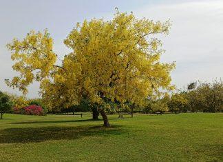 Golden Chain Tree (13)