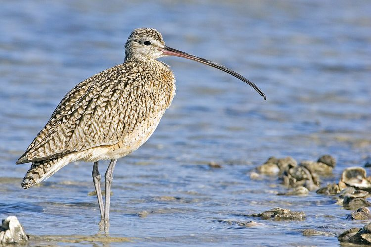 The Curlew bird (Numenius arquata) is the largest European wader. It is resident, breeding in moorland, grassland, marshes, and dunes.